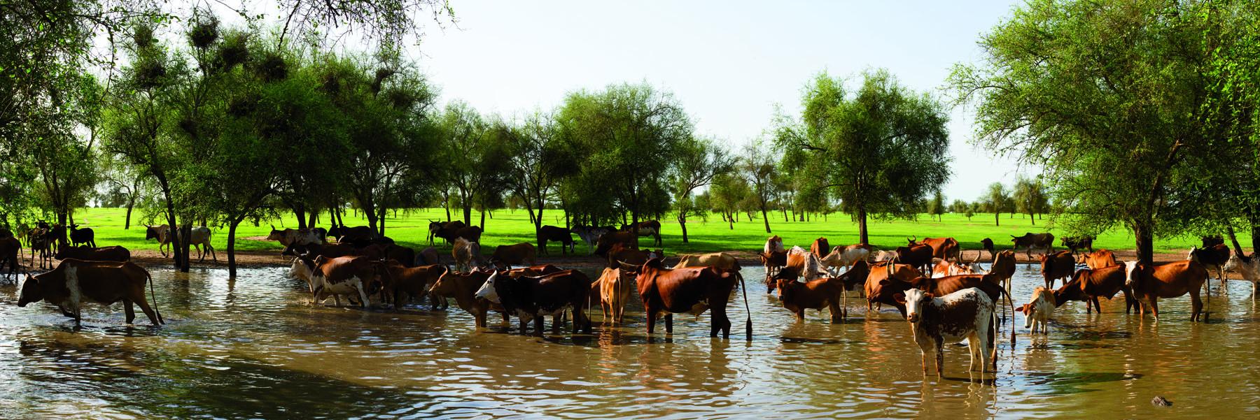 Panorama bétail